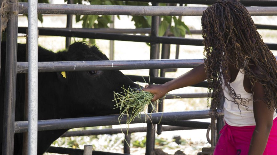 Jalee Brown, senior, fed a cow down in the Cam High Agriculture Department.