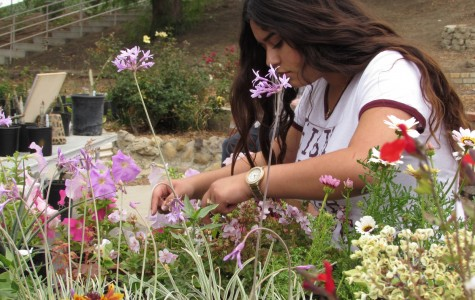 Lupita Ware helps cut  flowers to sell to the Cam High staff during fourth period. Cam High is one of four high schools in the county, the others being Fillmore High School, Santa Paula Union High School, and Ventura High School, to offer an agriculture program.