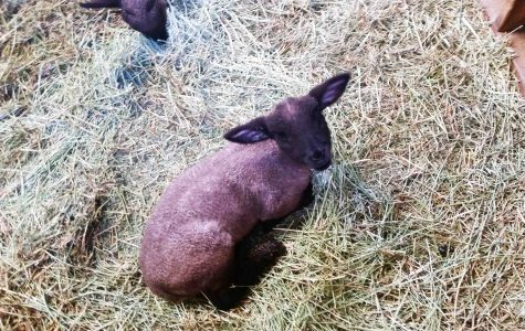 Lucky the Lamb received her name because she was fortunate that her injury was not life threatening.
