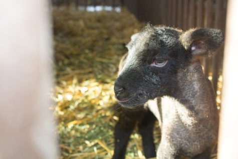 One of seven lambs recently birthed at Cam High. These lambs are being raised by Cam High's AG program.