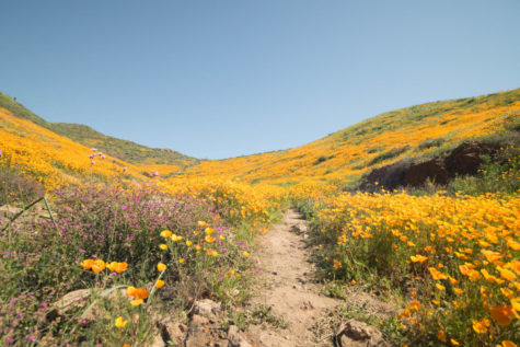 The 2017 Super Bloom in California has returned in places like  Antelope Valley and Walker Canyon, attracting thousands of tourists.