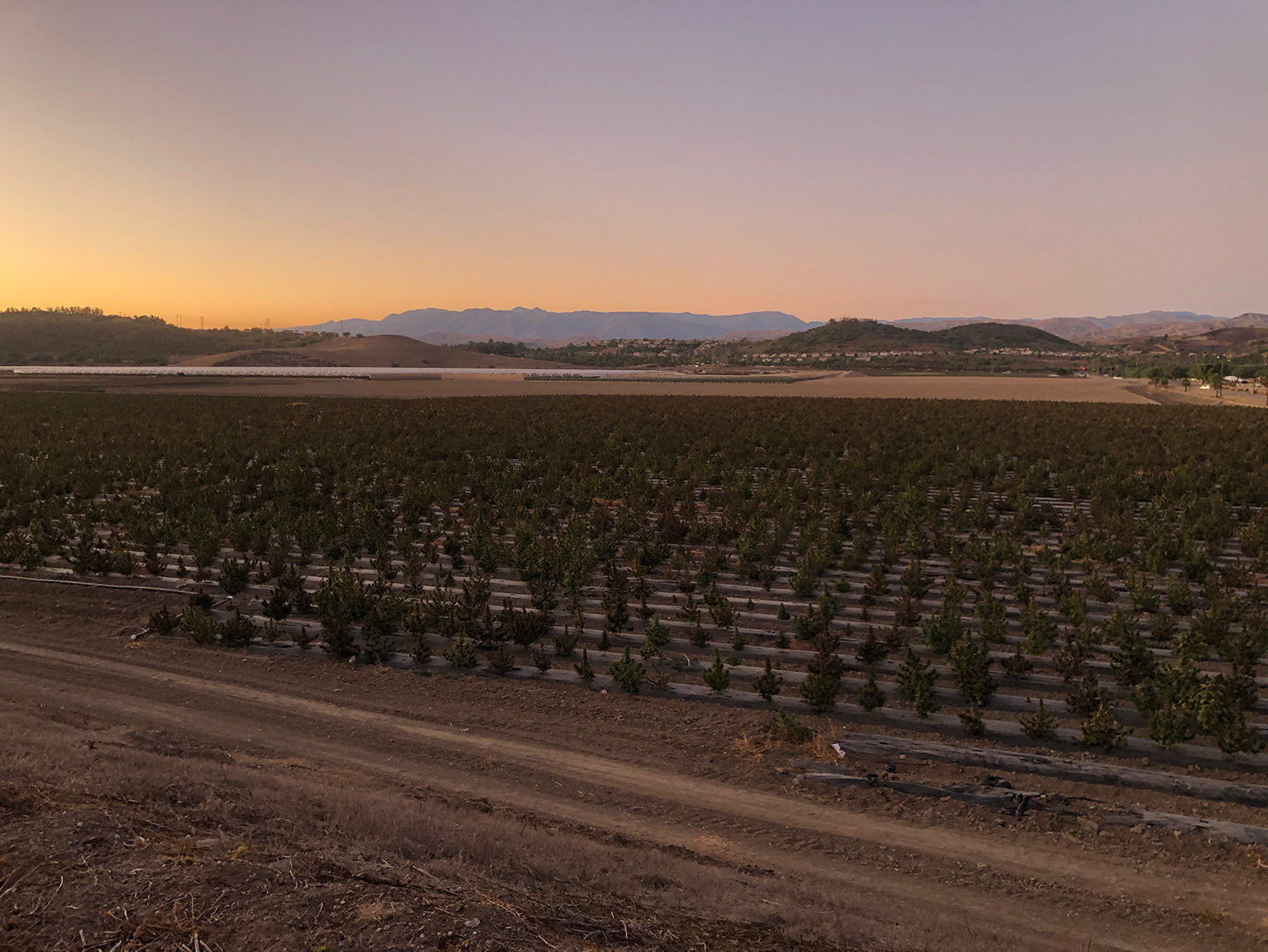 Camarillo farms have started to grow industrial hemp in the berry offseason, which can help to improve soil quality and has numerous uses.